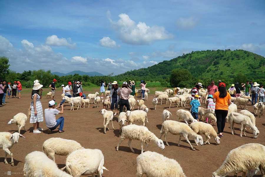Đồng cừu Suối Nghệ ở Vũng Tàu
